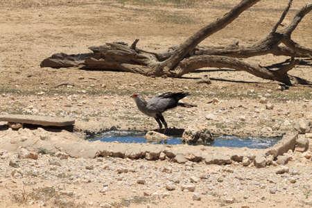 pozo de agua: Un p�jaro secretaria en el pozo de agua de Kgalagadi Parque Nacional Sud�frica
