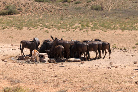 kgalagadi: A herd of wildebeest drink at waterhole at Kgalagadi trasfontier park, South Africa Stock Photo