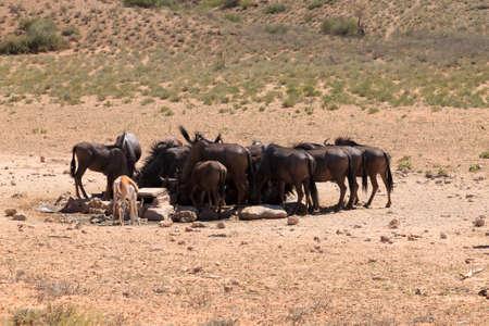 pozo de agua: Una manada de �us bebida en la charca en el parque trasfontier Kgalagadi, Sud�frica