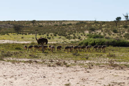 kgalagadi: A family of ostriches at Kgalagadi National Park, South Africa