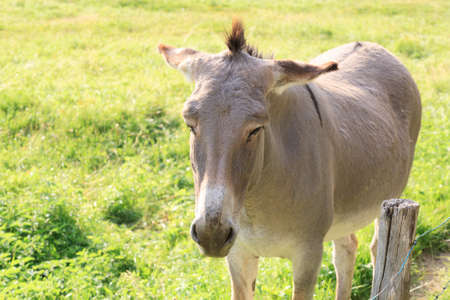 donkey ass: Isolated brown donkey, breeding, rural life Stock Photo