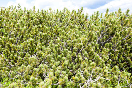 mugo: Nature background, close up of mugo pines needles