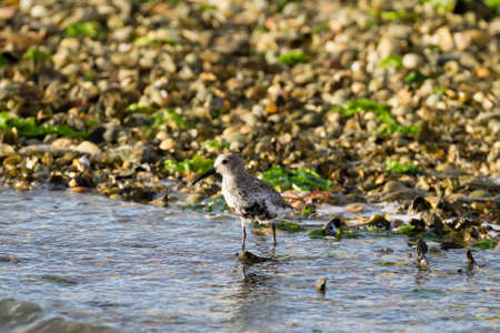 birdwatching: Close up of a Kentish plover bird from  Delta del Po Italy, nature, birdwatching