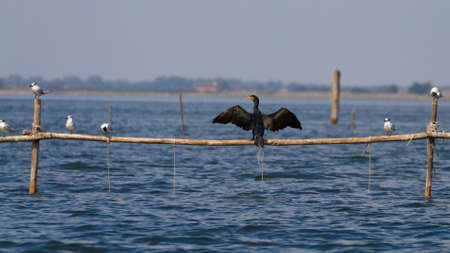 palisade: Close up of cormorand standing on palisade. Birdwatching from delta del Po, Italy