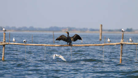 birdwatching: Close up of cormorand standing on palisade. Birdwatching from delta del Po, Italy