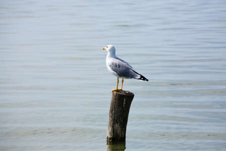palisade: Gull standing on palisade from delta del Po. Italian nature. Birdwatching Stock Photo