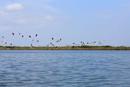 Flock of pink flamingos flying, from Delta del Po, Italy. Nature panorama