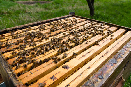 beekeeping: Open hive detail. Beekeeping, agriculture, rural life. Stock Photo