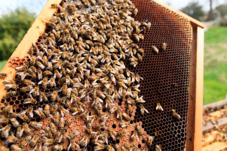 beekeeping: Queen bee detail. Apiculture, rural life.  Beekeeping
