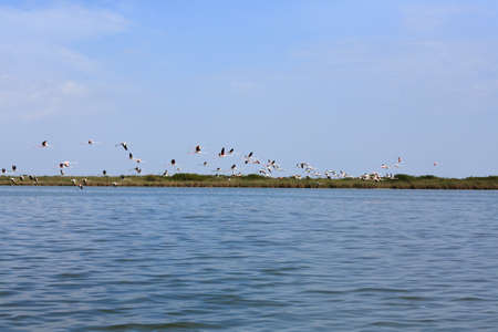 bevy: Flock of pink flamingos flying, from Delta del Po, Italy. Nature panorama
