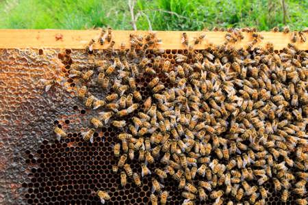 Bienenkönigin Detail. Imkerei, ländliche Leben. Bienenzucht
