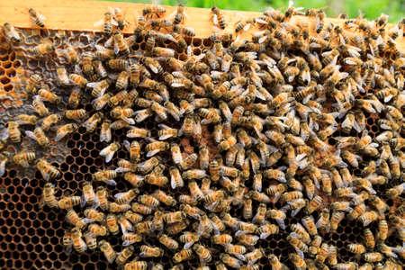 abeja reina: Reina detalle abeja. La apicultura, la vida rural. Apicultura