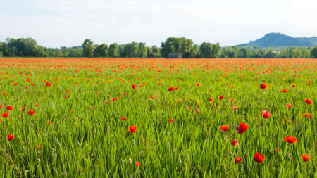 Field of red poppies with mountains in background. Rural life. Italian landscape