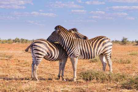 savannas: Couple of zebras from Kruger National Park. African wildlife.  equus quagga. South Africa Stock Photo