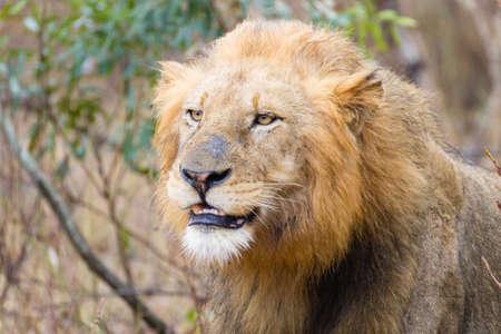 savannas: Close up to a lion Stock Photo
