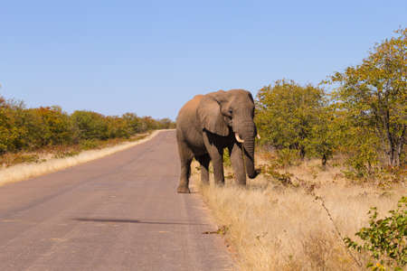 savannas: Elephant from Kruger National Park, South Africa. African wildlife. Loxodonta africana Stock Photo