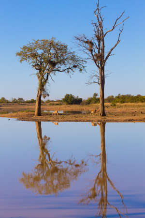 Kruger National Park, reflections on lake, tree and wildlife. Beautiful landscape from South Africa. Stock Photo