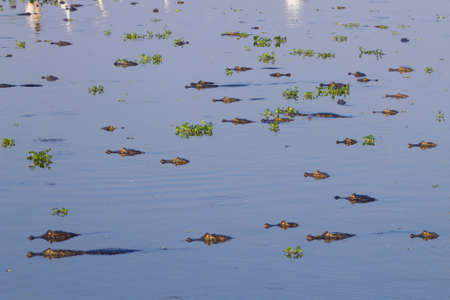 humid south: Caiman floating on the surface of the water in Pantanal, Brazil. Brazilian wildlife. Stock Photo