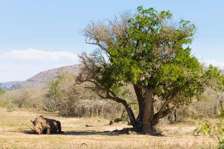 under a tree: White rhinoceros sleeping under a tree