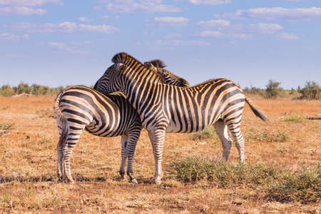 savannas: Couple of zebras