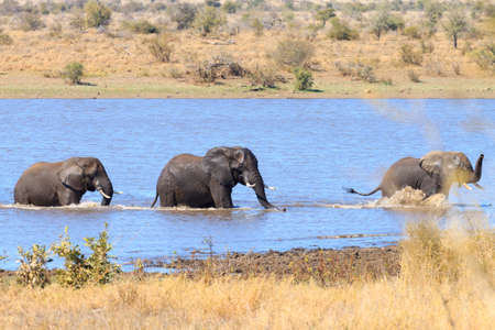 savannas: Couple of Elephants fighting inside water Stock Photo