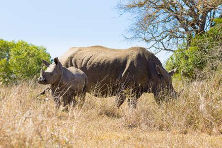 savannas: White rhinoceros female with puppy