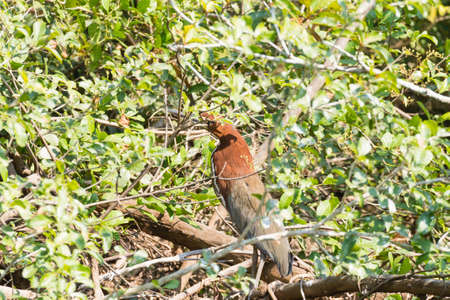lineatum: Rufescent tiger heron on the nature in Pantanal, Brazil. Brazilian wildlife