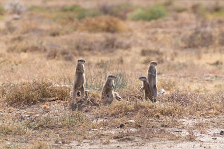 xerus inauris: Cape ground squirrel standing. Mountain zebra national park, South Africa. Safari and wildlife