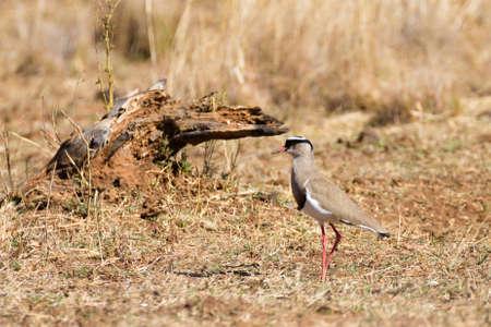 savannas: Crowned lapwing close up from Pilanesberg National Park, South Africa. Safari and wildlife. Birdwatching Stock Photo