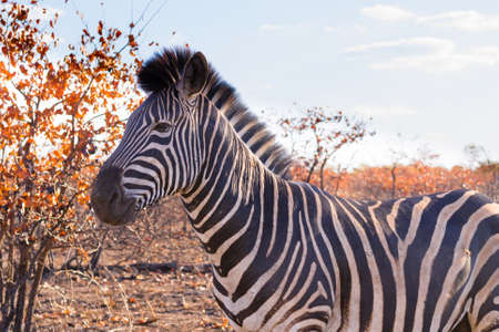 savannas: Zebra from Kruger National Park. African wildlife.  equus quagga. South Africa Stock Photo