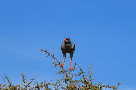 South african bird. Pale chanting goshawk from Addo Elephant National Park.Nature detail