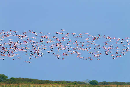 Flock of pink flamingos from Delta del Po lagoon, Italy. Nature panorama