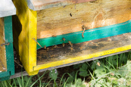 Bee with pollen that enter in the hive. Rural life, beekeeping. Bees close up Stock Photo