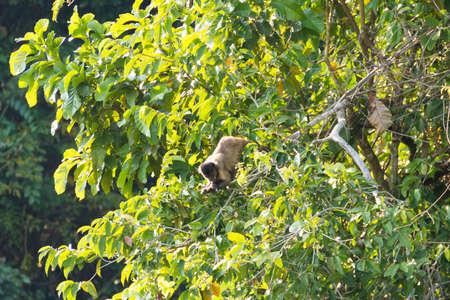beautiful rare: Tufted capuchin monkey on the nature in Pantanal, Brazil. Brazilian wildlife. Sapajus apella