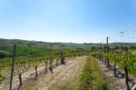 winegrowing: Beautiful Italian landscape. Vineyards from Langhe region,Italy agriculture. Unesco world heritage site