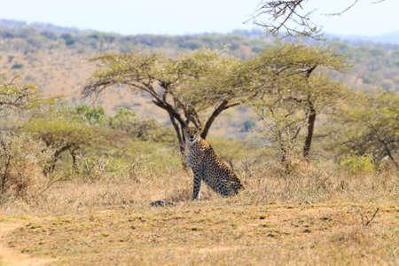 치타는 Hluhluwe-Imfolozi 공원, 남아 프리 카 공화국에서에서 닫습니다. 아프리카 야생 동물. Acinonyx jubatus