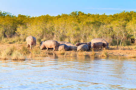 Herd of hippos sleeping along river from Isimangaliso Wetland Park, South Africa. Safari into wildlife. Animals in nature Stock Photo