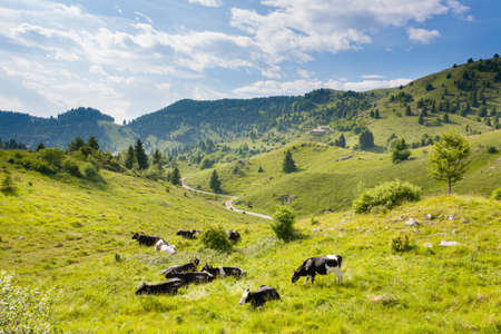 Herd of cows from Italian alps. Italian rural landscape. Beautiful panorama from Monte Grappa, Italy