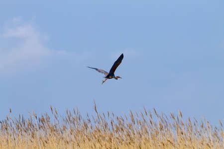 Purple heron close up from Po river lagoon, Italy. Migratory bird. Italian nature