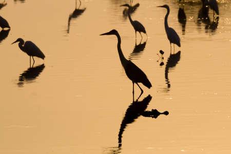 Birds reflected on water from Pantanal, Brazil. Brazilian wildlife. Birds silhouette.