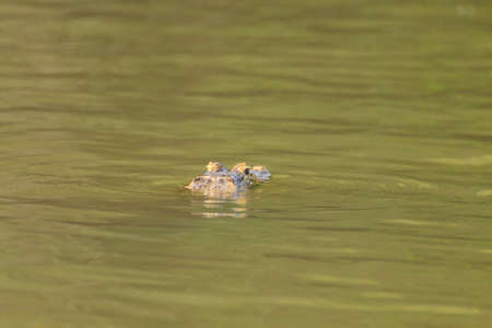Caiman floating on the surface of the water in Pantanal, Brazil. Brazilian wildlife. Stock Photo