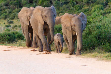 Family of elephants from Addo Elephant National Park, South Africa. African wildlife 스톡 콘텐츠