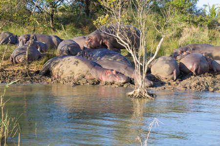 Herd of hippos sleeping along river from Isimangaliso Wetland Park, South Africa. Safari into wildlife. Animals in nature Reklamní fotografie
