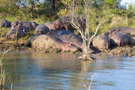 Kudde nijlpaarden slapen langs de rivier van Isimangaliso Wetland Park, Zuid-Afrika. Safari in het wild. Dieren in de natuur