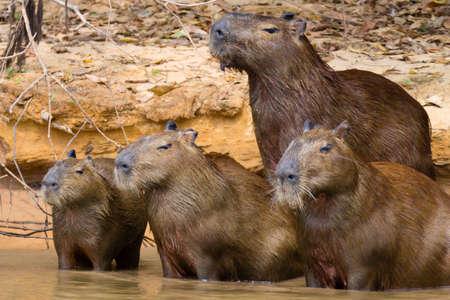 Herd of Capybara on riverbank from Pantanal, Brazil. Brazilian wildlife. Hydrochoerus hydrochaeris