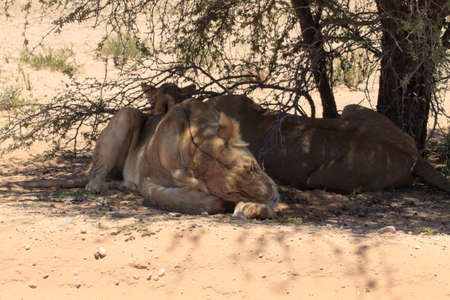 Lions sleeping under trees at Kgalagadi Transfontier Park, South Africa
