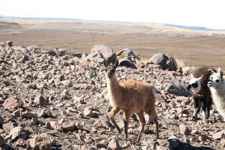 Bolivian llama breeding on Andean plateau,Bolivia Stock Photo