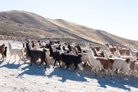 Bolivian llama breeding on Andean plateau,Bolivia Stock Photo