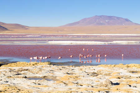 Laguna Colorada flamingos, Bolivia. Puna flamingo. Andean wildlife. Red lagoon Stock Photo