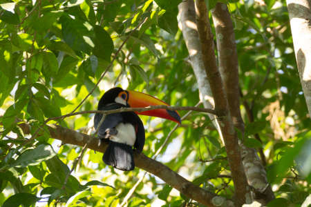Toucan bird on the nature in Foz do Iguazu, Brazil. Brazilian wildlife